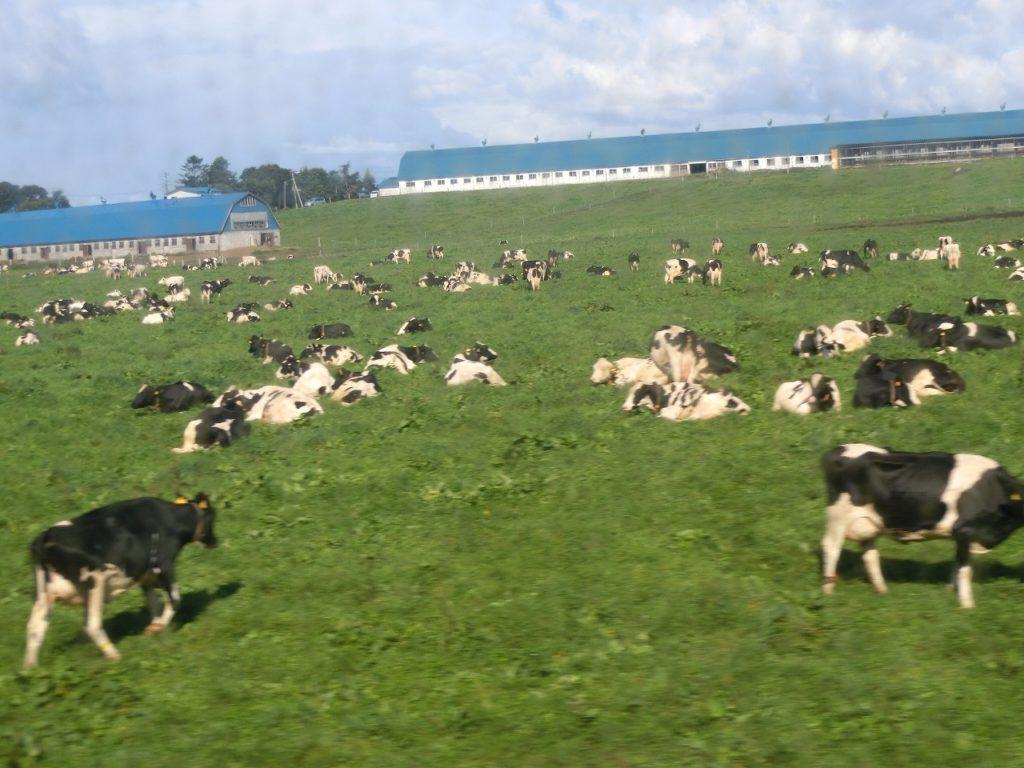 石勝線沿線の牧草地で戯れる乳牛たち