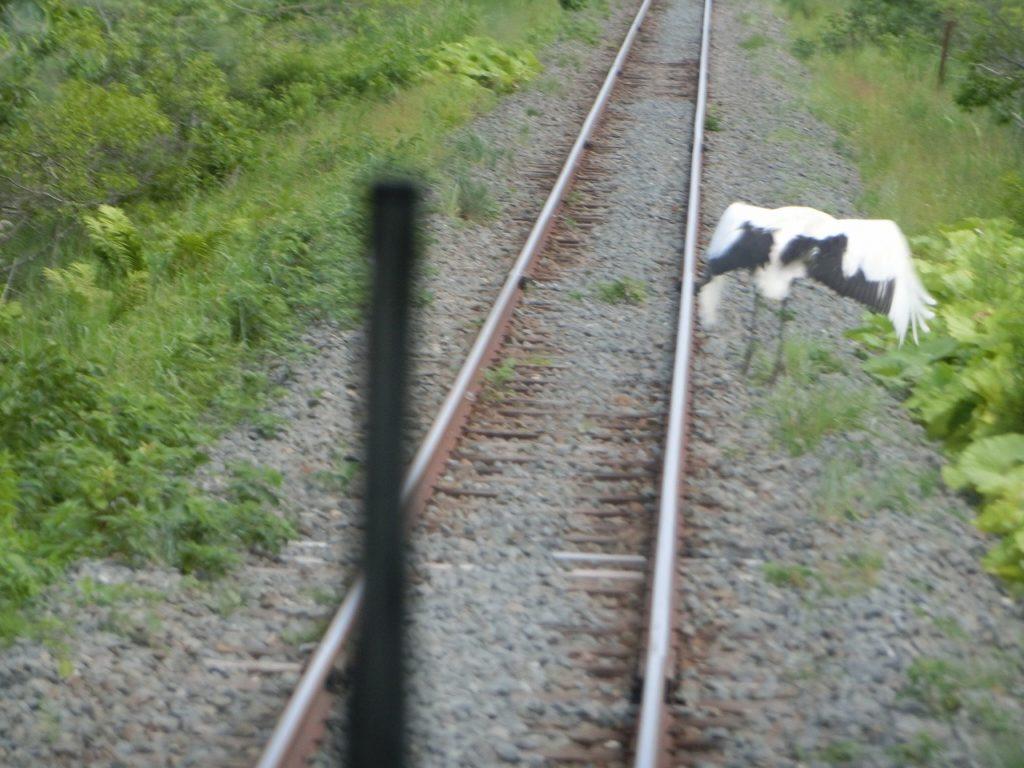 釧網本線から見えたタンチョウ