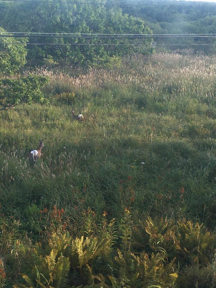 花咲線沿線に出没したエゾシカ